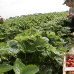 Covid-19 et travail saisonnier : des centaines de citoyens prêts à travailler dans les champs